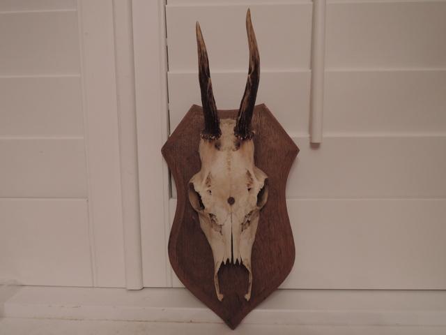 European Deer Antlers Skull on Wooden Plaque Wood Mount